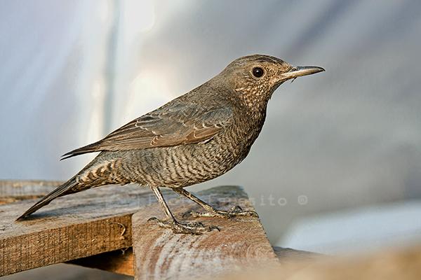 passero solitario femmina